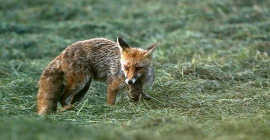 Non, le renard n'est pas nuisible