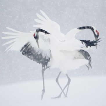 Vincent Munier, photographe animalier