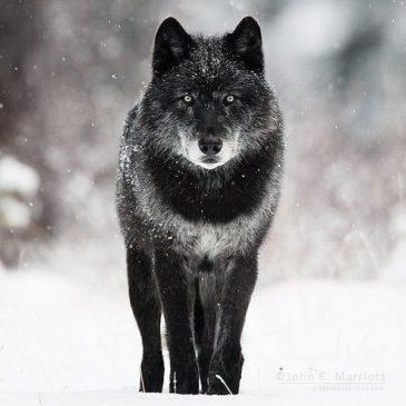 Cri du loup la nuit