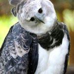 l'aigle forestier du Brésil: la Harpie féroce