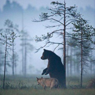 Lassi Rautiainen – amitié ours/loup