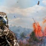 Oiseaux pyromanes?