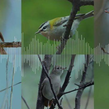 Chants des oiseaux